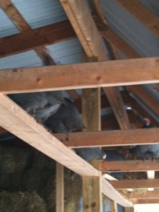Guineas on the rafters.