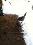 turkeys and snow